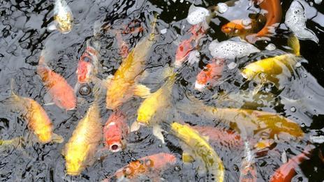 Deux gigantesques passes à poissons vont se construire sur le Rhin